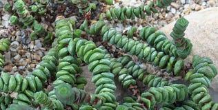 Secuencia de la planta del Succulent de los botones Imágenes de archivo libres de regalías