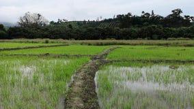 Secuencia video del lapso híper con la cámara subjetiva que camina en el campo de arroz verde en Asia, lapso de tiempo tailandés  metrajes