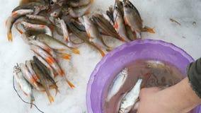 Secuencias del pescador en un pescado recién pescado de la cuerda La pesca del invierno, pescado miente en la nieve almacen de video