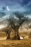 Seculaire olijfboom in de avond stock afbeelding