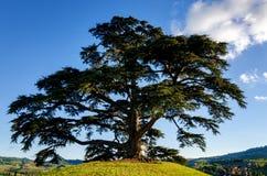 Secular cedar of La Morra Royalty Free Stock Images