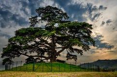 Secular cedar of La Morra. LA MORRA, ITALY - OCTOBER 20, 2016 - Secular cedar of Lebanon in La Morra, Italy, on october 20, 2016. The tree was planted in 1856 Royalty Free Stock Image