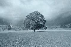 Secular oak. Under the rain Stock Photography
