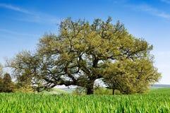 Secular oak tree royalty free stock photo