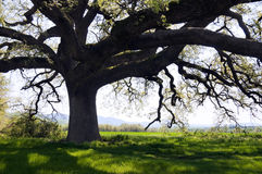 Free Secular Oak Tree Royalty Free Stock Photos - 5112488