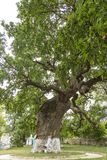 Secular oak tree. Secular tree in a Moldovan field. Huge tree branches.The tree of Ștefan cel Mare Tourist objective in the Republic of Moldova Royalty Free Stock Images