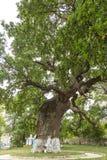 Secular oak tree Royalty Free Stock Images