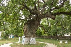 Secular oak tree. Secular tree in a Moldovan field. Huge tree branches.The tree of Ștefan cel Mare Tourist objective in the Republic of Moldova Royalty Free Stock Photo