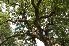 Secular oak tree. Secular tree in a Moldovan field. Huge tree branches.The tree of Ștefan cel Mare Tourist objective in the Republic of Moldova Stock Photos