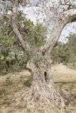 Secular olive tree.  royalty free stock photo