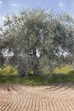 Secular olive tree in the Basilicata region in southern Italy. To understand a concept of agriculture and business Royalty Free Stock Photography