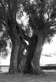 Secular large olive tree. A big secular olive tree with the powerful trunk cracked and gouged Royalty Free Stock Image