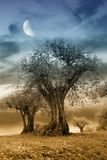 Secular olive tree in the evening Stock Image