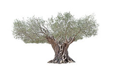 Secular Olive Tree isolated on white background. Secular Olive Tree with large and textured trunk isolated on white background Royalty Free Stock Image