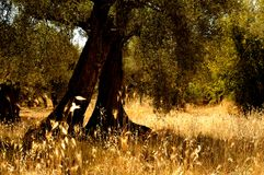 Secular olive tree, Italian countryside. With golden spikes, sunlight Stock Photo
