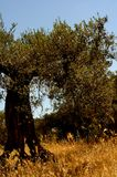 Secular olive tree, Italian countryside, vertical. With golden spike, sunlight Stock Images