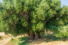 Secular Olive Tree with large an d textured trunk in a field of olive trees in Italy, Marche.  Royalty Free Stock Photo