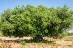 Secular Olive Tree with large an d textured trunk in a field of olive trees in Italy, Marche.  Stock Images