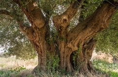 Secular Olive Tree with large an d textured trunk in a field of olive trees in Italy, Marche.  Stock Photos