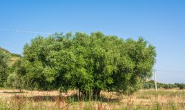 Secular Olive Tree with large an d textured trunk in a field of olive trees in Italy, Marche.  Stock Image