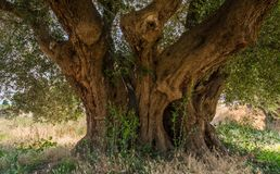 Secular Olive Tree with large an d textured trunk in a field of olive trees in Italy, Marche.  Royalty Free Stock Image