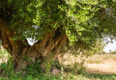 Secular Olive Tree with large an d textured trunk in a field of olive trees in Italy, Marche.  Royalty Free Stock Photography