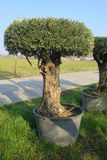 Secular olive tree in pot for sale.  Royalty Free Stock Images