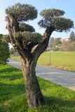 Secular olive tree in pot for sale.  Stock Photography