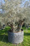 Secular olive tree in pot for sale.  Stock Image