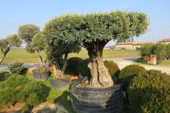 Secular olive tree in pot for sale.  Royalty Free Stock Photos