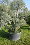 Secular olive tree in pot for sale.  Stock Images