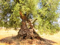 Olive trees. Secular olive tree in Puglia, Italy Royalty Free Stock Photo
