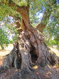 Old olive tree. Secular olive tree in Puglia, Italy Stock Images