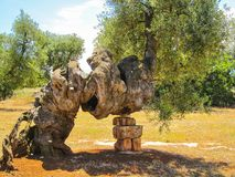Old olive tree. Secular olive tree in Puglia, Italy Stock Photos
