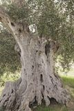 Secular olive tree.  royalty free stock photography