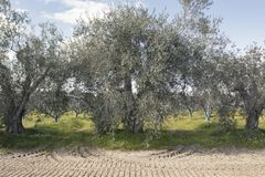 Secular olive trees in the Basilicata region in southern Italy. To understand a concept of agriculture and business Royalty Free Stock Photography