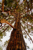 Secular pine in the park Royalty Free Stock Image
