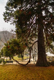 Secular pine in the park Royalty Free Stock Images