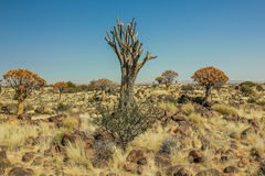 Secular tree forest Aloe in the dry season Stock Image