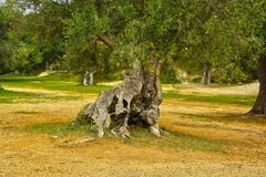 Secular ulivo in puglia. Secular ulivos in puglia in the province of taranto cried old of varied centuries are shed for the whole territory of the puglies Royalty Free Stock Image