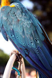 Secured blue and gold macaw. Blue and gold macaw secured with a chain connected to the leg and perch so it can't fly away stock photography