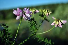 Securigera varia Coronilla varia, purple crown vetch blooming flowers and leaves close up detail on soft blurry. Background stock image