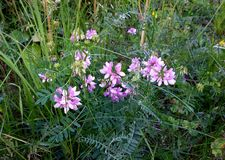 Securigera Varia. An image of a Purple Crown-Vetch (Securigera varia) in the grass Royalty Free Stock Images