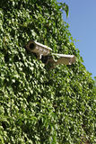 Security cameras on ivy covered wall Royalty Free Stock Photo