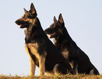 Security dogs Stock Image
