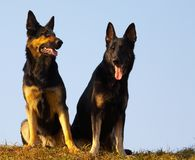 Security dogs. Thoroughbred security dogs on the nature royalty free stock image
