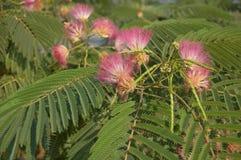 Seda del acacia Imagen de archivo