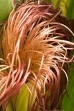 Seda del maíz imagenes de archivo