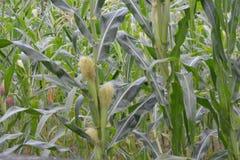 Seda del maíz de campo de maíz Imagen de archivo