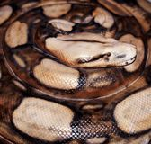Sedate snake. Close up of boa constrictor model, taxidermy, in coiled Stock Photo